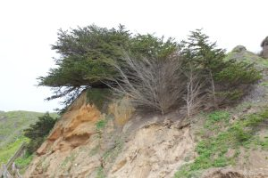 Trees growing on the cliffs