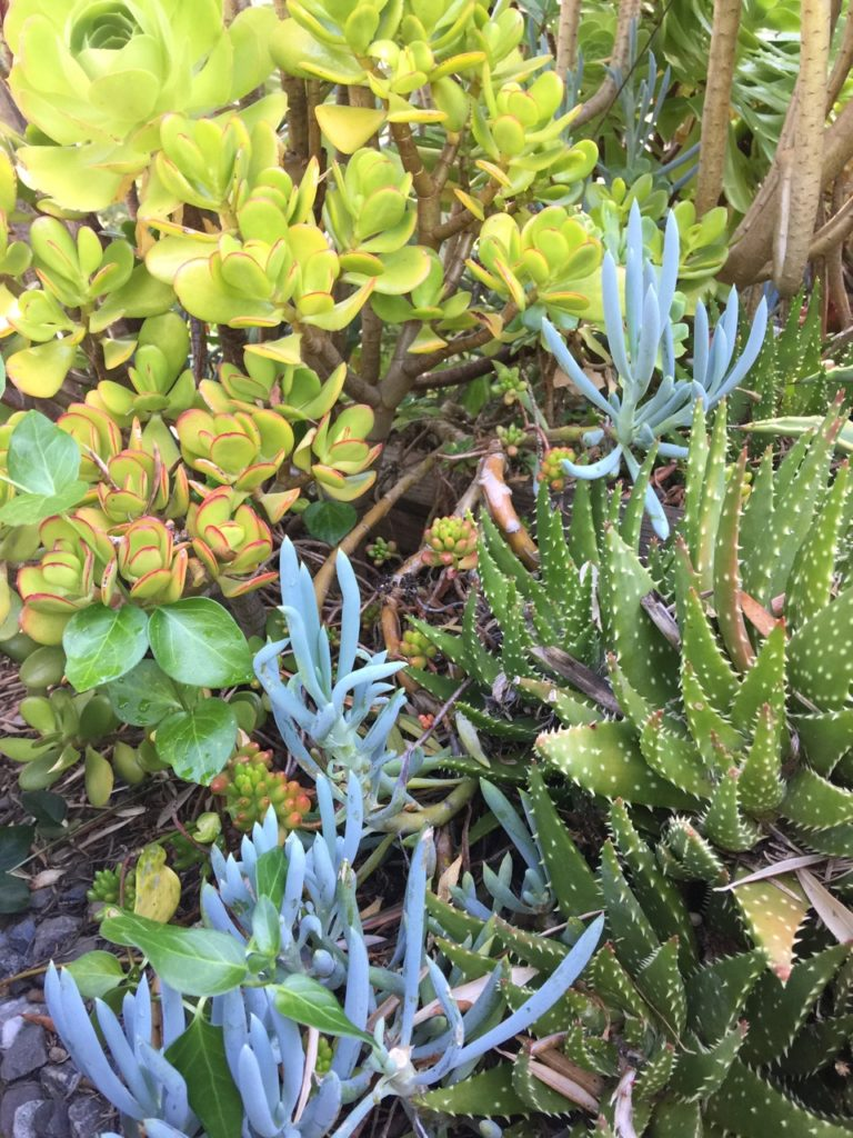 Succulents at the Allied Arts Guild