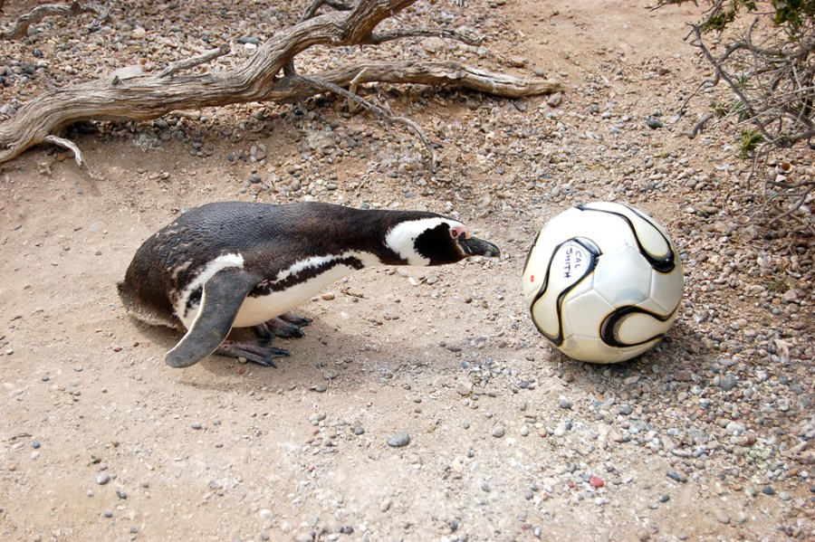 Penguin inspecting soccer ball in Argentina