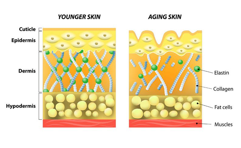 collagen and elastin in young skin vs old skin