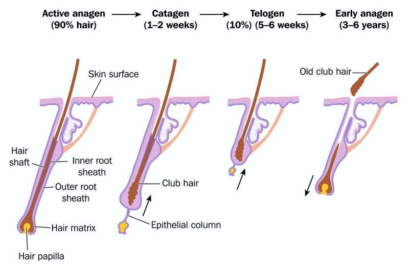 Anagen, catagen and telogen hair growth phases