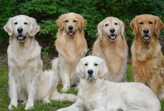 Perros cobradores, levantadores de caza y perros de agua