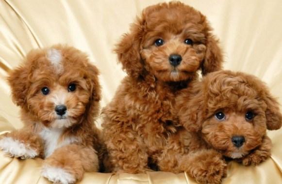 beneficios de los poodles