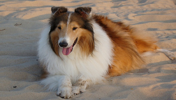razas de perros collie
