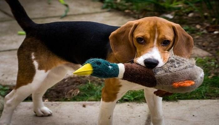 raza de perros apacibles
