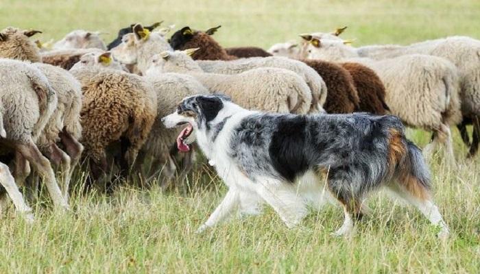 Perros ideales para pastoreo