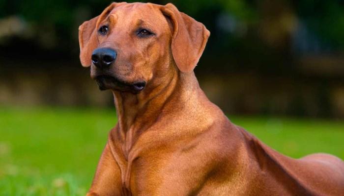 razas de perros africanos