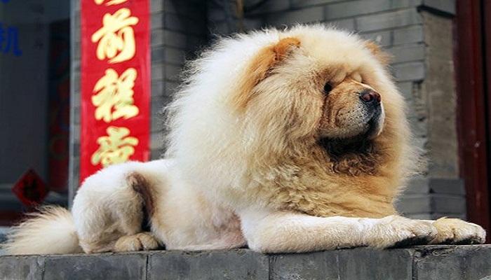 Razas de perros chinos