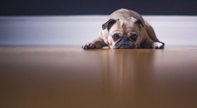 perros-con-sindrome-down
