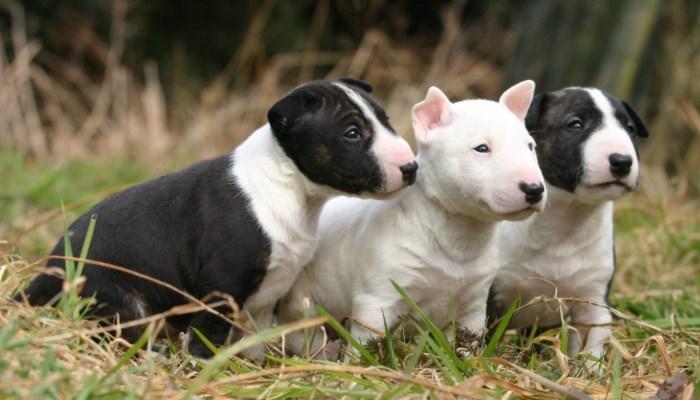 razas de perros terrier