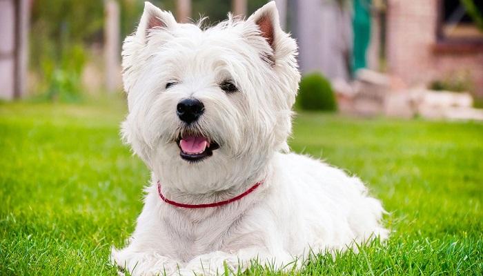 Raza de perros westy terrier