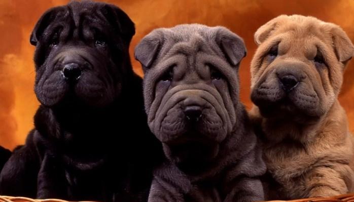 perros con arrugas