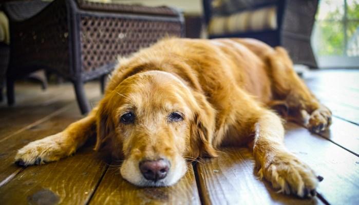 Causas que influyen en la artrosis en perros
