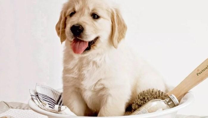Como prevenir las pulgas en cachorros