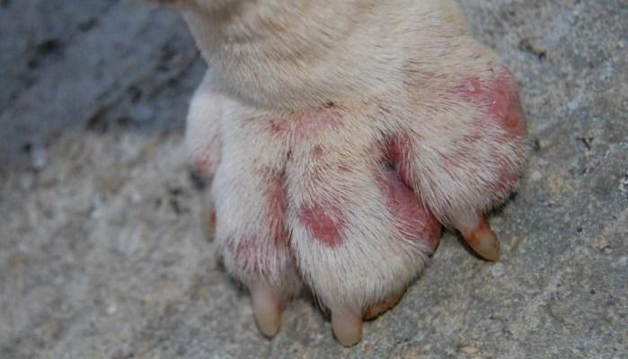 Heridas de Garrapatas en Perros