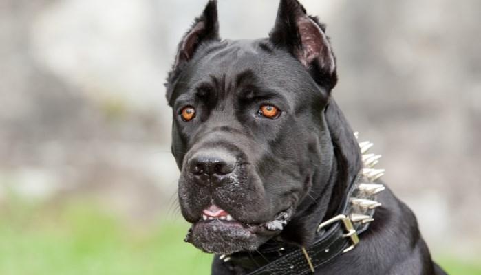 Características de un perro peligroso