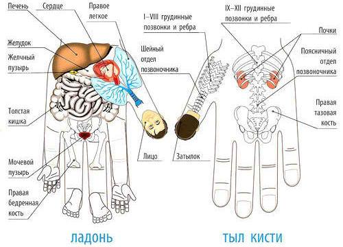 sootvetstvie-vnutrennih-organov-na-rukah