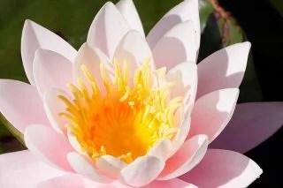 薄ピンクの睡蓮