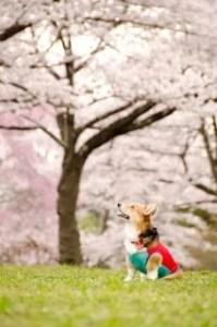 桜とコーギー
