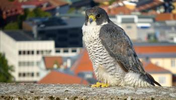 Peregrine Falcon 'CX' in his home city Västerås, Sweden (Anders Nylén).