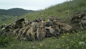 Vultures feeding at the 'Vulture Restaurant, Jbel Moussa, 10 May 2016