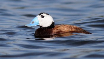 White-headed Duck / Érismature à tête blanche (Oxyura leucocephala), Sidi Boughaba, 4 Feb. 2017 (Benoit Maire)