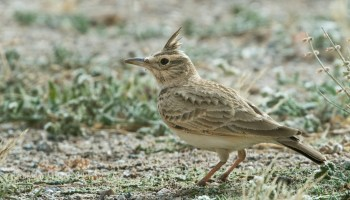 'Long-billed' Crested Lark, probably belonging to the senegallensis group of Galerida cristata, Aousserd, western Sahara, 21 Jan. 2018 (Lars Petersson).