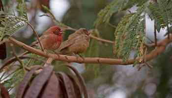 Red-billed Firefinches (Lagonosticta senegala), Tamanrasset, southern Algeria (Sam Viles)