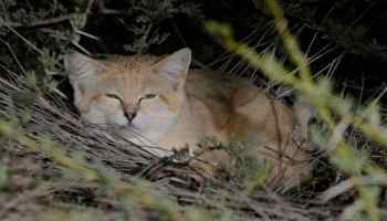Sand Cat (Felis margarita) resting in Brown-necked Raven nest, southern Morocco (J. M. Bompar and co-authors)