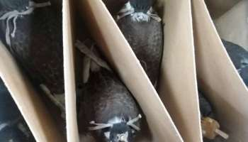 Live falcons seized at Casablanca Airport by Customs officials (Moroccan Customs Administration).