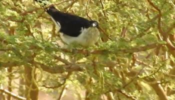 Jacobin Cuckoo / Coucou jacobin (Clamator jacobinus), Tamanrasset, southern Algeria, 5 Oct. 2019 (Karim Haddad).