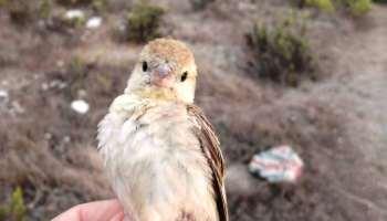Sudan Golden Sparrow (Passer luteus), Ceuta, 3 Oct. 2021 (Grupo de anillamiento Chagra).