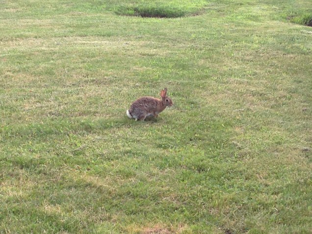 Saw my first bunny in Pittsburgh on the CMU campus!