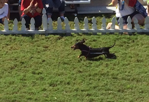 Quimby the handicapped dachshund at the Wiener dog races at Oktoberfest in Savannah, GA