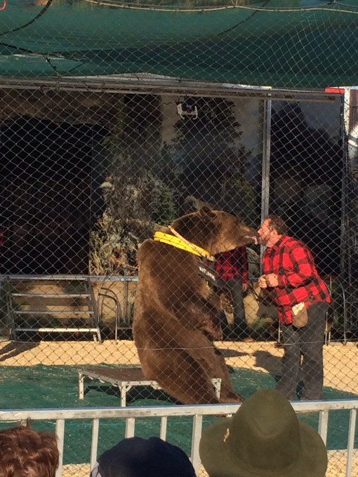 Bear Show at the Florida State Fair in Tampa, FL 2015