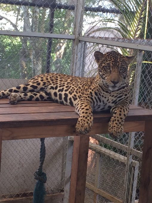 Fiona, the resident jaguar at The Asociacion Panamericana Para La Conservacion in Panama