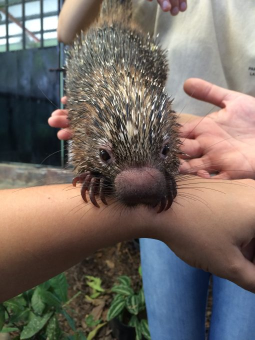 Playing with a Porcupine at The Asociacion Panamericana Para La Conservacion in Panama