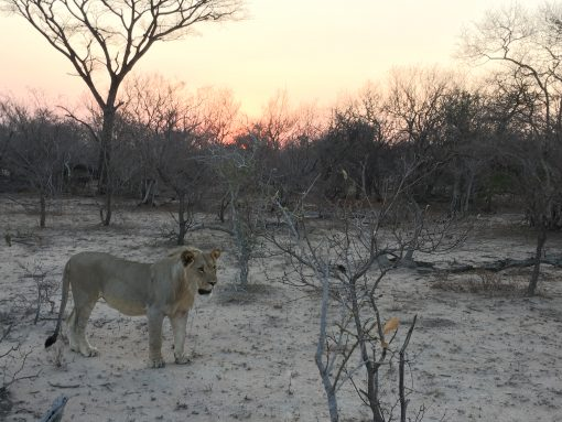 Sleep among lions on a budget South African Safari