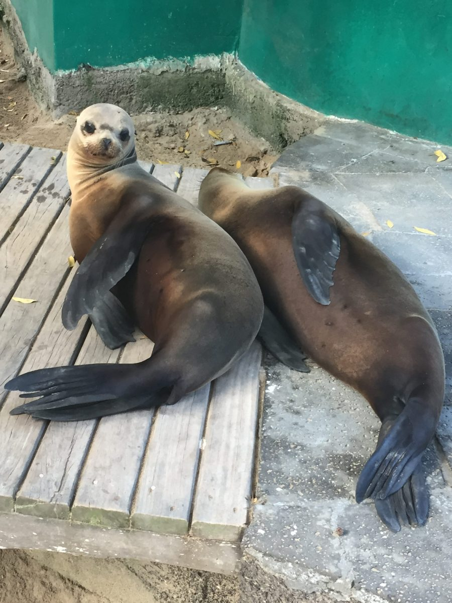 Sea Lions at Concha Perla on Isla isabela in the Galapagos Islands.
