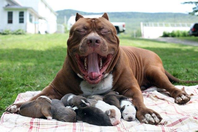 3-hulk-pitbull-largest-puppies-9