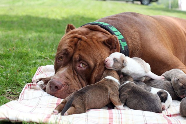 5-hulk-pitbull-largest-puppies-2