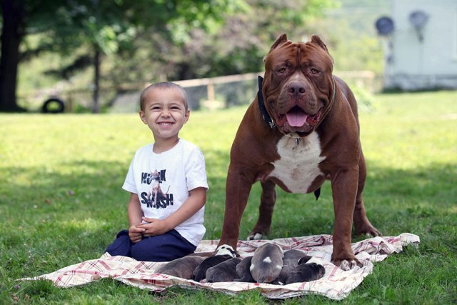 7-hulk-pitbull-largest-puppies-6