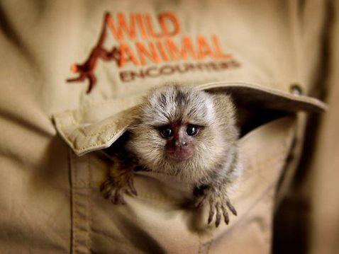 Abandoned Mini Monkey Saved: Australia (Pictures) (2/2)