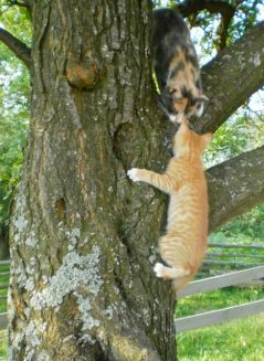 George Mallory Cat on his first day outside, getting a lesson from mum in how to get down from the tree