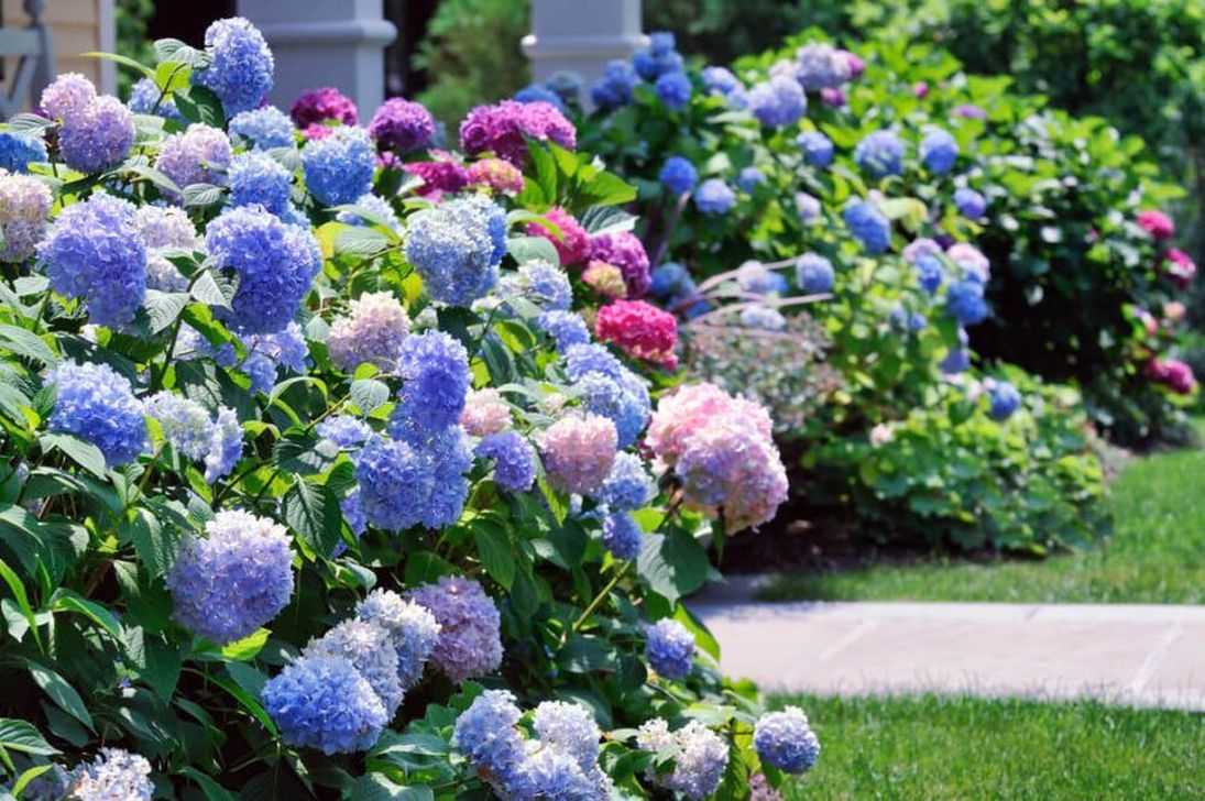 Beautiful Hydrangea Design Ideas Landscaping Your Front Yard 03