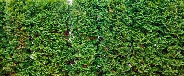 Privacy Trees For Backyard