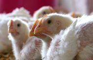 कोंबड्यांच्याही मृत्यूमागे खलिस्तानी असे जाहीर करू नये म्हणजे मिळवले; सेनेचा भाजपला टोला