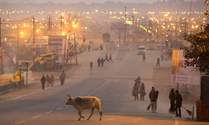 indian-cow-on-road