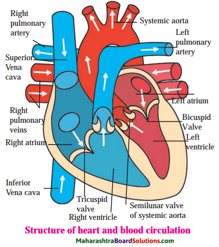Maharashtra Board Class 8 Science Solutions Chapter 11 Human Body and Organ System 5