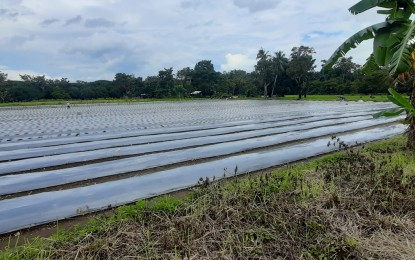 Cassava model farm to rise in S. Leyte town